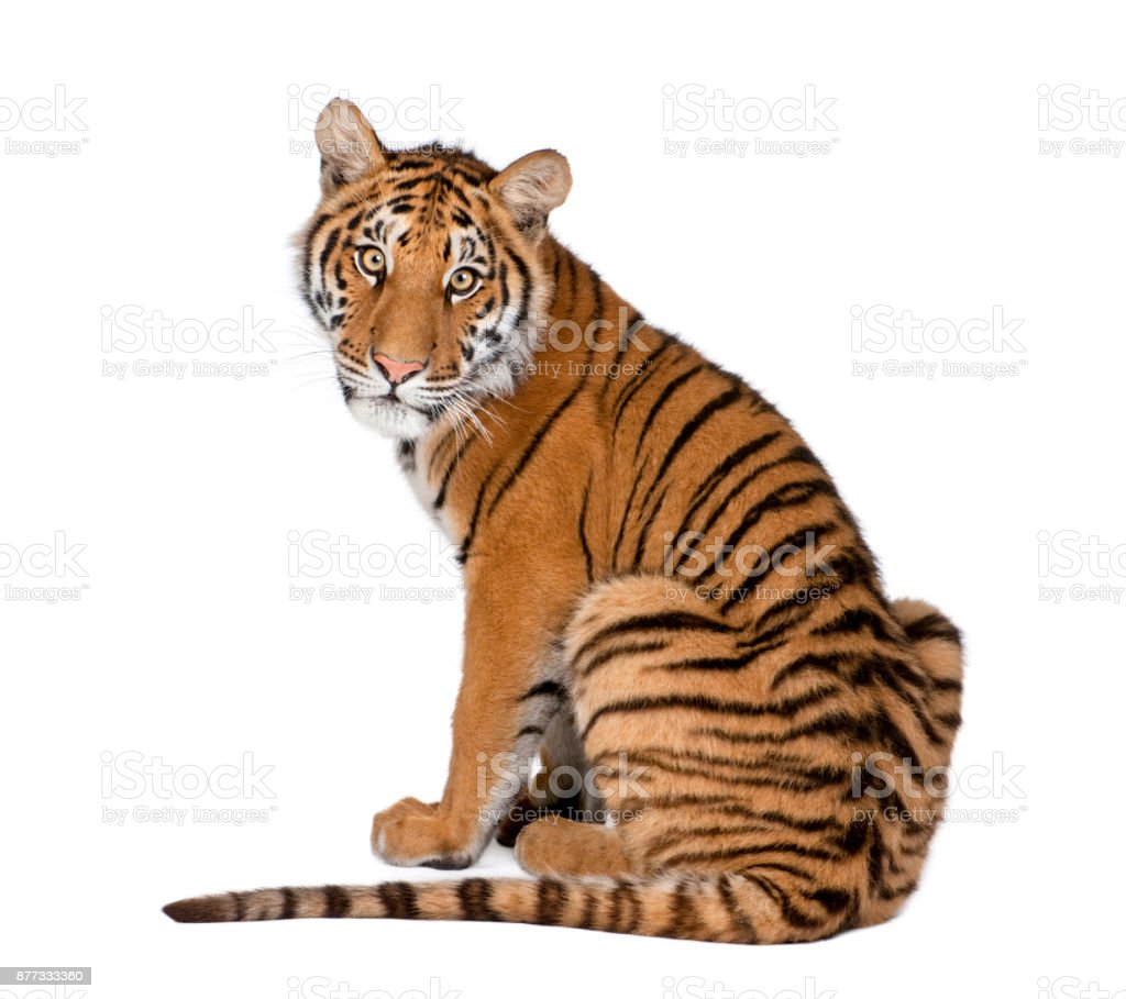 Portrait of Bengal Tiger, 1 year old, sitting in front of white background, studio shot, Panthera tigris tigris'n стоковое фото