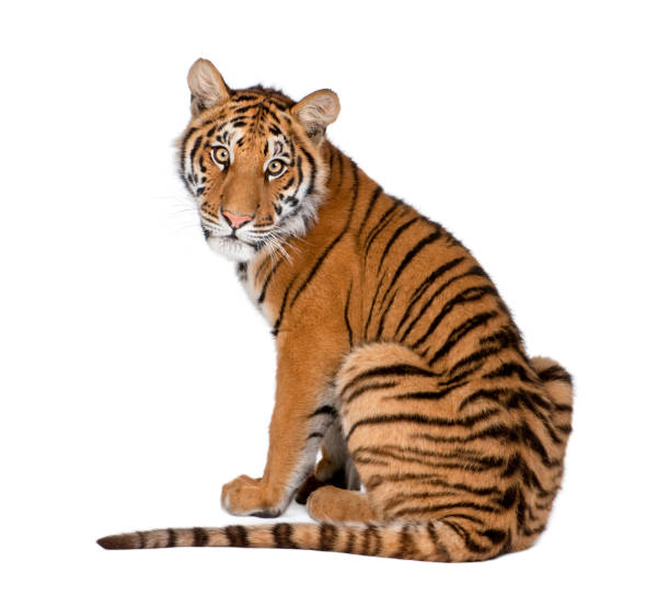 "portrait of bengal tiger, 1 year old, sitting in front of white background, studio shot, panthera tigris tigris""n - tiger stock photos and pictures"