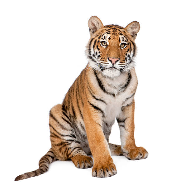 portrait of bengal tiger, 1 year old, sitting, studio shot - tiger stock photos and pictures