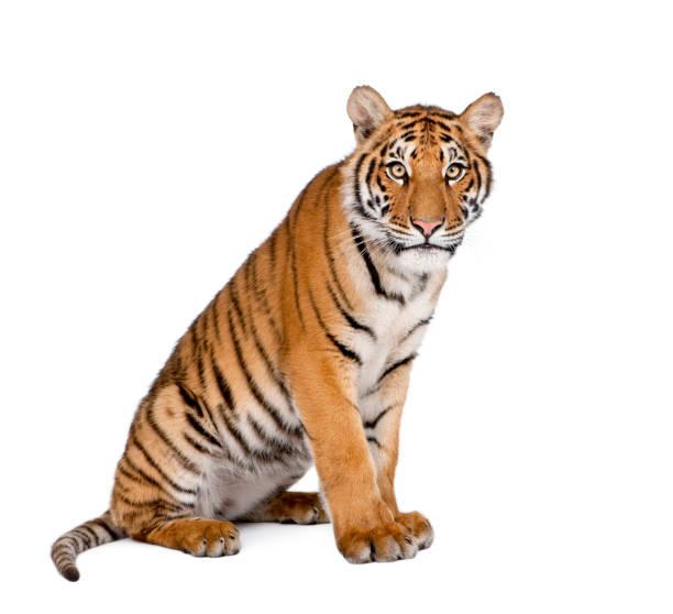 retrato de la sesión de tigre de bengala, panthera tigris tigris, 1 año de edad, delante de fondo blanco, disparo de estudio - tigre fotografías e imágenes de stock