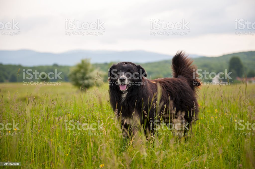 Portrait of big black dog in the field with tall green grass. Sheep protector. royalty-free stock photo