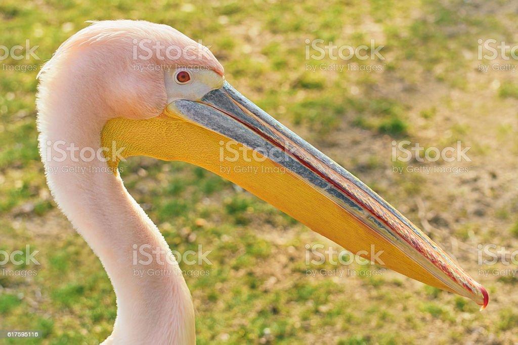 Portrait of Big Rosy Pelican stock photo