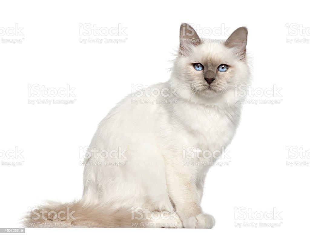 Portrait of Birman cat, 5 months old stock photo