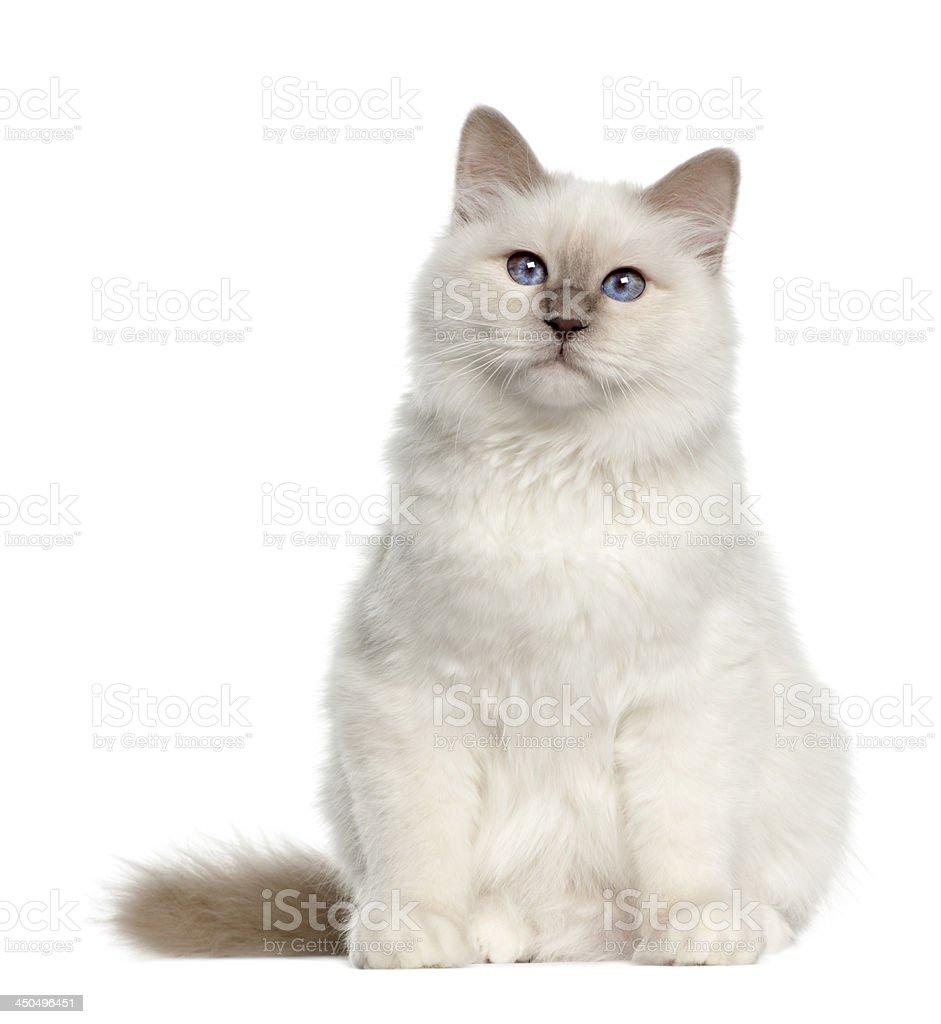 Portrait of Birman cat, 6 months old stock photo