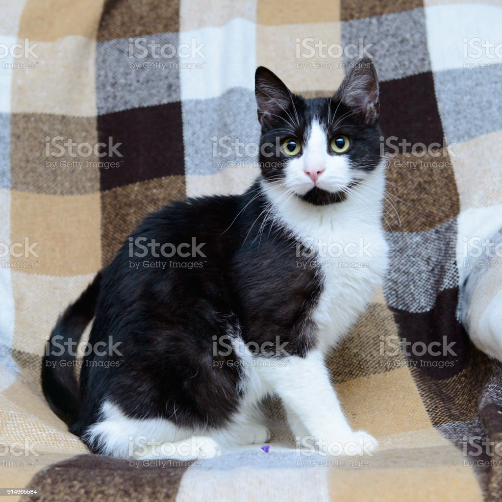portrait of black and white cat stock photo
