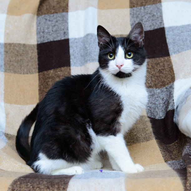 Retrato de gato blanco y negro - foto de stock
