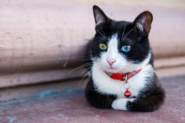 Portrait of black and white cats face picture id1162557880?b=1&k=6&m=1162557880&s=612x612&w=0&h=wqkfdknkvskyzjvsbx0kwd2kq4rrjnwnlyonqk7tnqq=