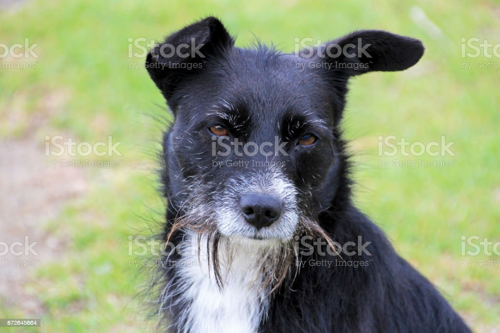 Portrait of black and white half-breed dog, green background, Colombia stock photo