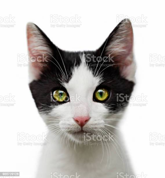 Portrait of black and white kitten on white background picture id935729128?b=1&k=6&m=935729128&s=612x612&h=7gl09lhzy3pcez4l0hms2 xxpfo9 hwqynqz1x s50m=
