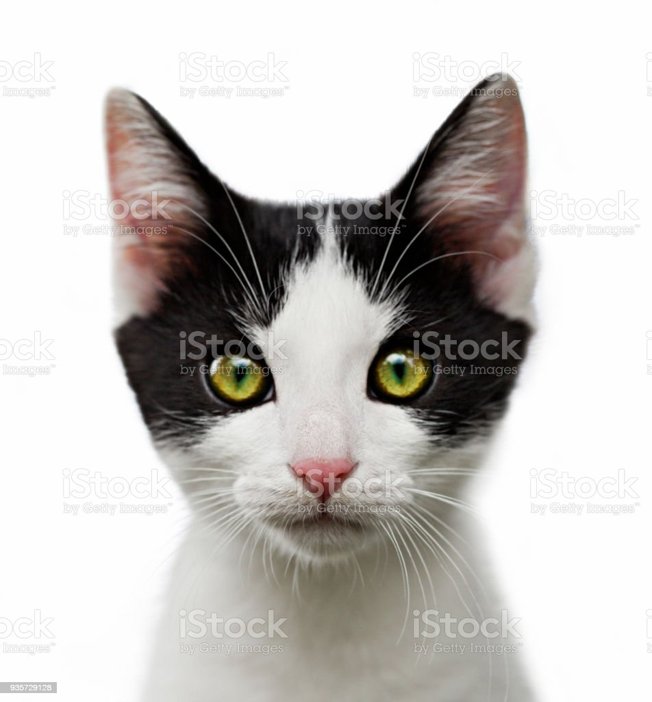 portrait of black and white kitten on white background stock photo