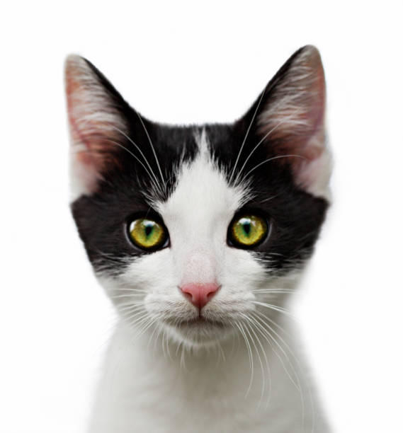 portrait of black and white kitten on white background portrait of black and white kitten on white background undomesticated cat stock pictures, royalty-free photos & images