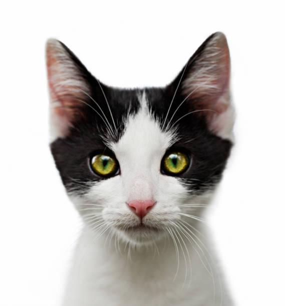 portrait of black and white kitten on white background - котик яркий стоковые фото и изображения