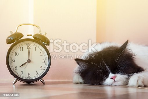 istock portrait of black and white Persian kitty cat sleeping near vintage alarm clock with sunbeams 860484104