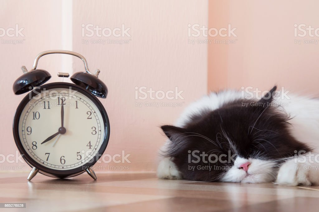 portrait of black and white Persian kitty cat sleeping with vintage...