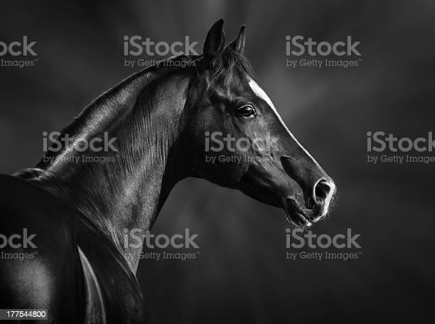 Portrait of black arabian horse picture id177544800?b=1&k=6&m=177544800&s=612x612&h=tb7xxyb8qw1pkyab lpscpk80v  kcblariv4ekmz6y=