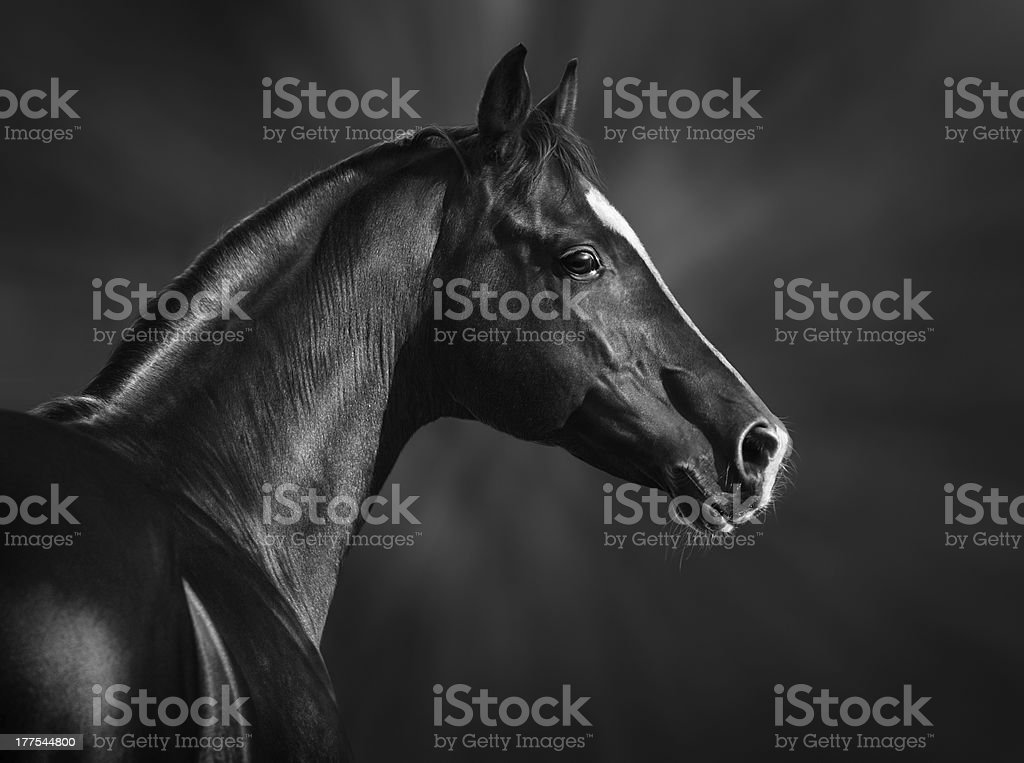 Portrait of black arabian horse stock photo