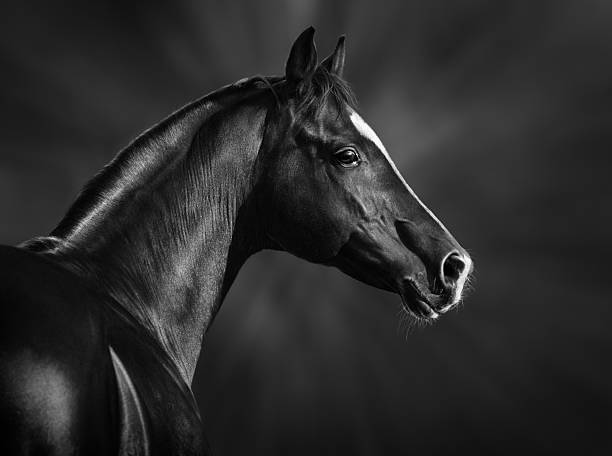 Portrait of black arabian horse Black and white portrait of arabian stallion arabian horse stock pictures, royalty-free photos & images