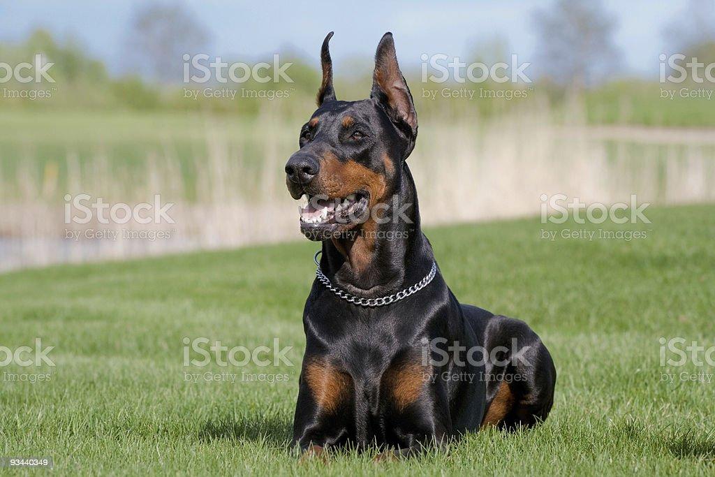 portrait of black dobermann stock photo