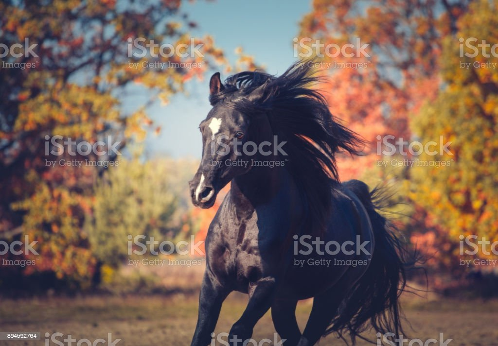 Portrait of black expressive Arabian stallion on the autumn background stock photo