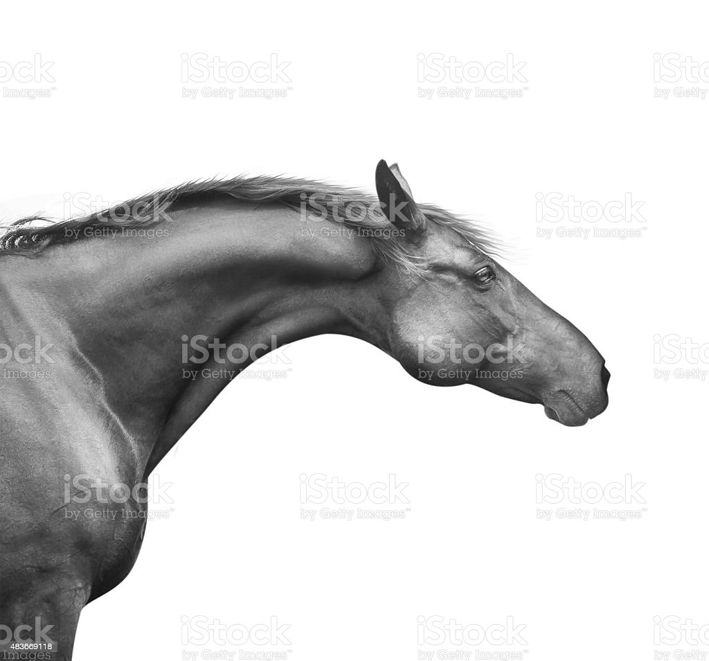 portrait of black horse with good neck and head, isolated stock photo