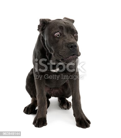 istock Portrait of black mixed bastard dog with sad face in front of white background, studio shot 962849144