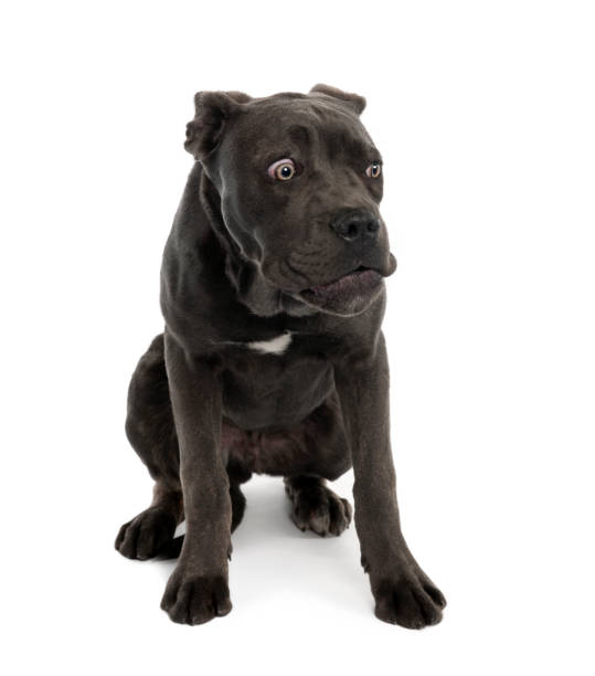 Portrait of black mixed bastard dog with sad face in front of white picture id962849144?b=1&k=6&m=962849144&s=612x612&w=0&h=gsihdjxflmrcncwohfbco23qz4xm86npq6wlukqwbsm=
