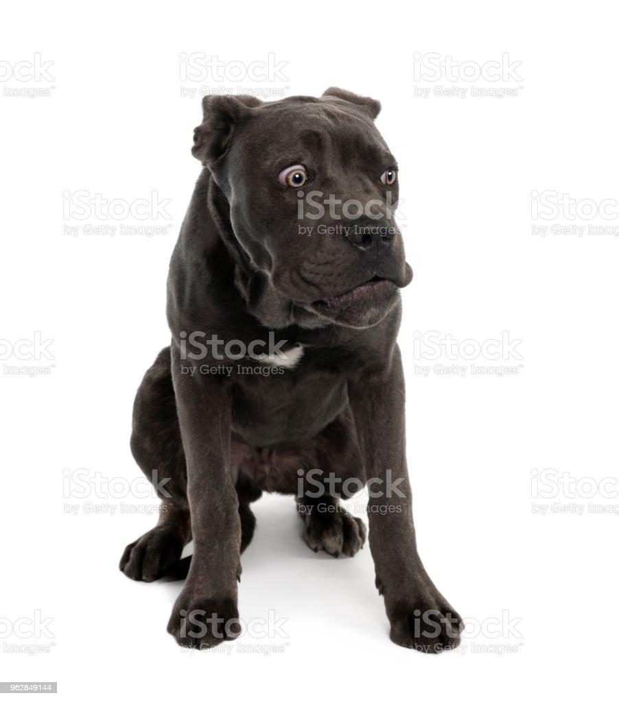 Portrait of black mixed bastard dog with sad face in front of white background, studio shot stock photo