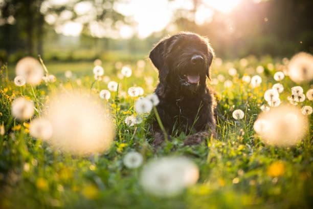 Portrait of black mutt dog during sunset on meadow picture id959195344?b=1&k=6&m=959195344&s=612x612&w=0&h=lywudw6llktmoot7tqtobw5yo 5oqqa6s1 wvoj9bmm=