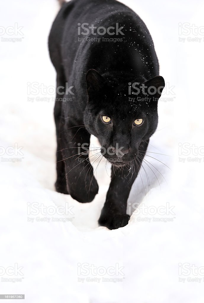 Portrait of black panther on white background stock photo