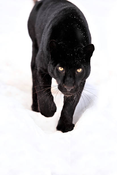 Portrait of black panther on white background​​​ foto