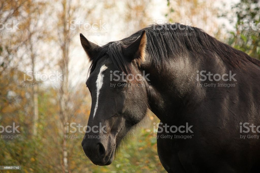 Portrait of black percheron in autumn stock photo