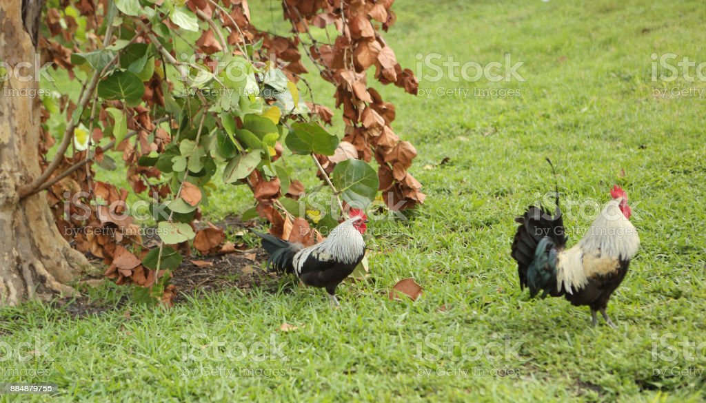 Portrait of black rooster stock photo