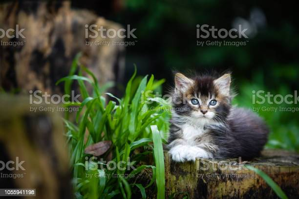 Portrait of black ticked white maincoon kitten sitting on a wooden picture id1055941198?b=1&k=6&m=1055941198&s=612x612&h=6o5flq9xins kc9o1jzlv 0c4pinmhzy8dn9hihzppi=