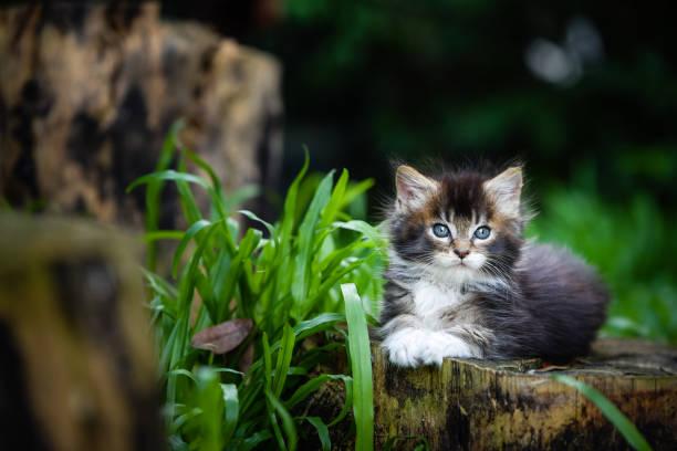 Portrait of black ticked white maincoon kitten sitting on a wooden picture id1055941198?b=1&k=6&m=1055941198&s=612x612&w=0&h=adh0buuunhg22r7sq3gl6 mjz fr0ik 2dpqtbrepf8=
