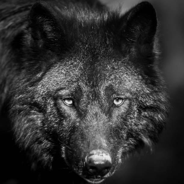 Porträtt av svart varg i skogen bildbanksfoto