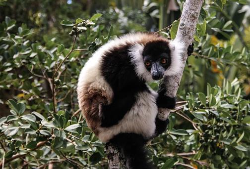 Portrait Of Blackandwhite Ruffed Lemur Aka Varecia ...