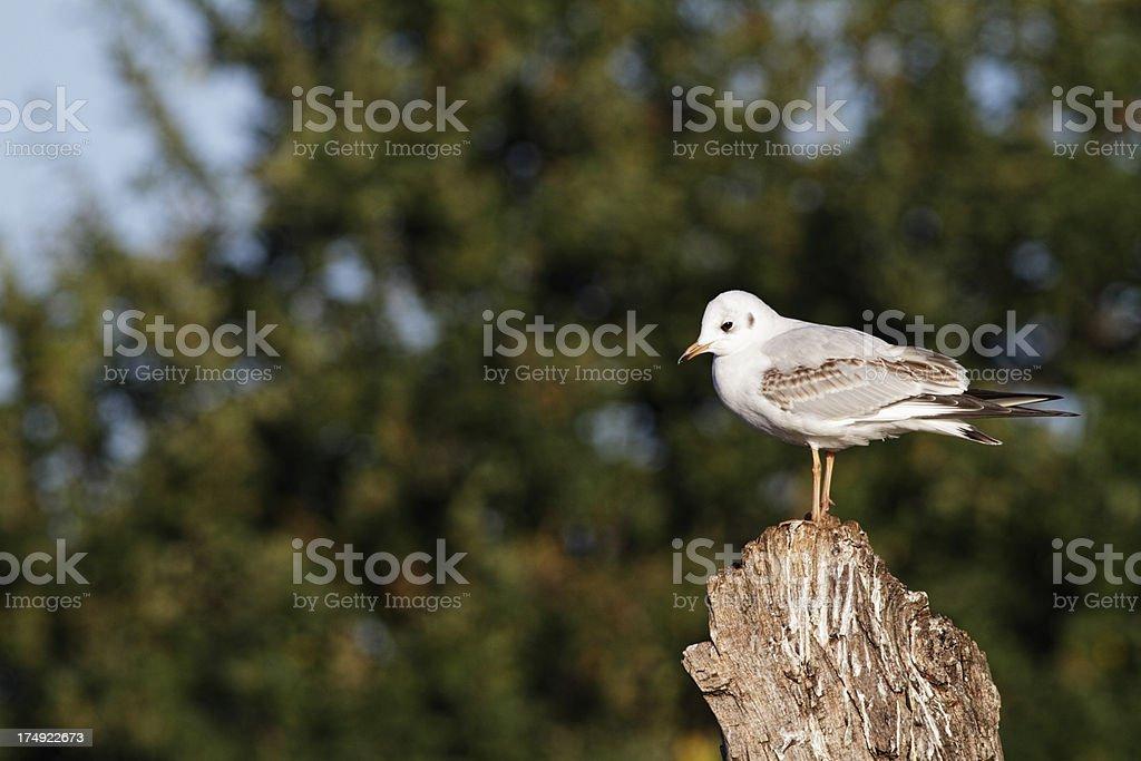 Portrait of blackheaded gull Larus ridibundus in winter royalty-free stock photo