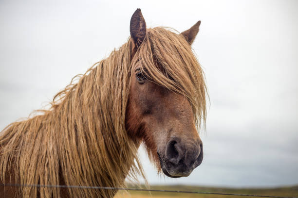 Portrait of blonde icelandic horse with long mane picture id1135574110?b=1&k=6&m=1135574110&s=612x612&w=0&h=gm84xz1z4uon8jy16pg28zlot eantqwrll5n 7fxeq=