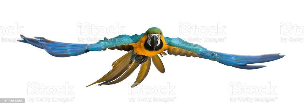 Portrait of Blue and Yellow Macaw, Ara Ararauna, flying royalty-free stock photo