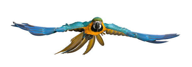 Portrait of Blue and Yellow Macaw, Ara Ararauna, flying stock photo