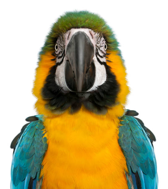 Portrait of Blue and Yellow Macaw, Ara Ararauna, in front of white background Portrait of Blue and Yellow Macaw, Ara Ararauna, in front of white background parrot stock pictures, royalty-free photos & images