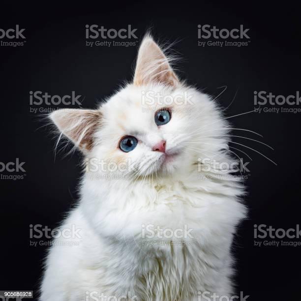 Portrait of blue eyed ragdoll cat kitten sitting isolated on black picture id905686928?b=1&k=6&m=905686928&s=612x612&h=ewhoiylq7r7tnirw1d1qyag0zpbzimxi4ylbu35u258=
