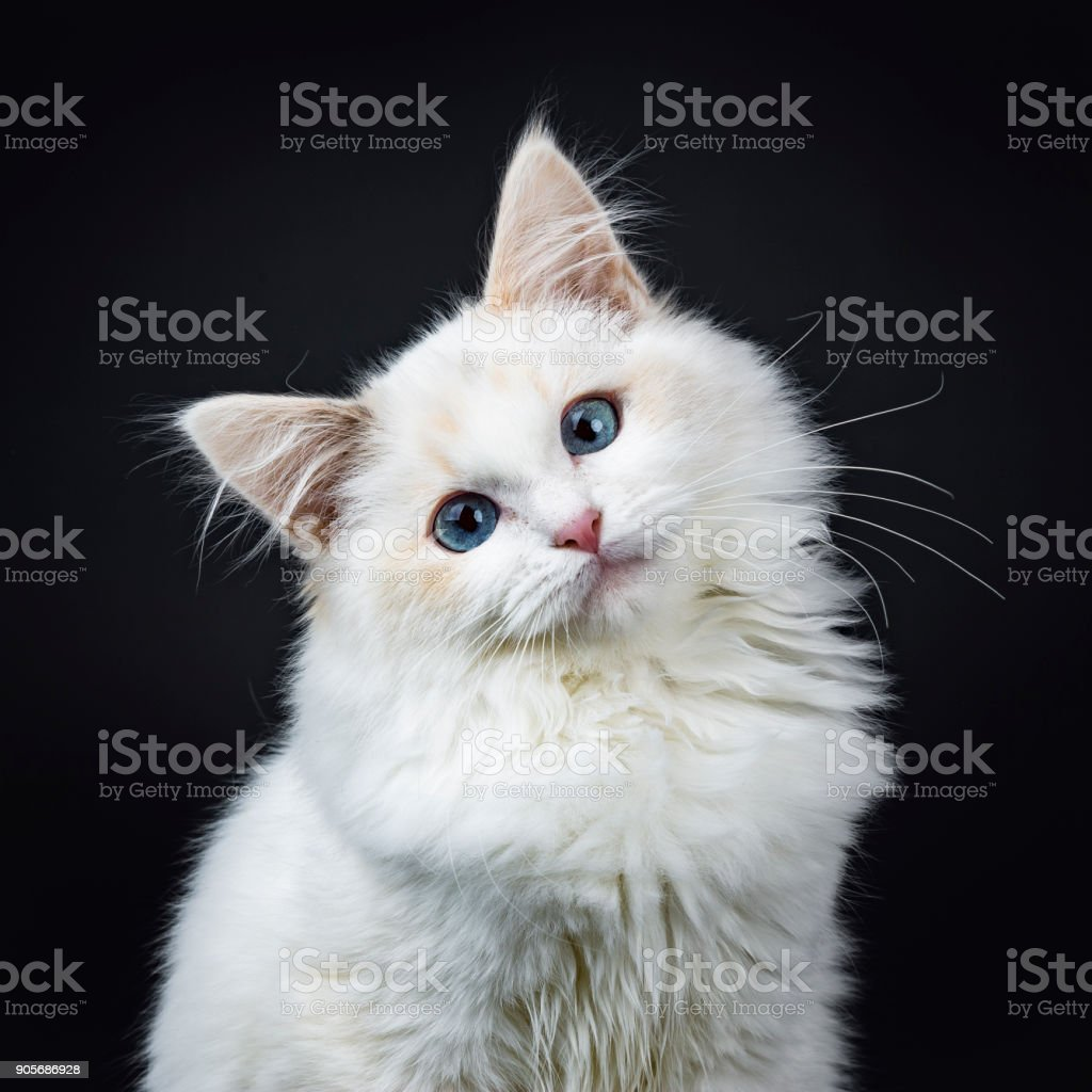 Portrait of blue eyed ragdoll cat / kitten sitting isolated on black background looking at the lens with tilted head stock photo