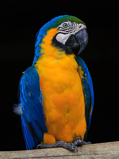 Porträt von Gelb und blau Ara auf dunklem Hintergrund – Foto