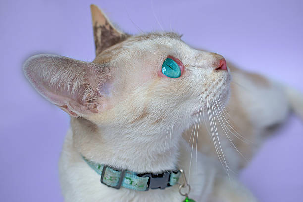 Portrait of blueeyed cat isolated on white background picture id513996088?b=1&k=6&m=513996088&s=612x612&w=0&h=jmr z1ysqu17wsqm2wuhwxu2c3rasttzpw xpxymjco=