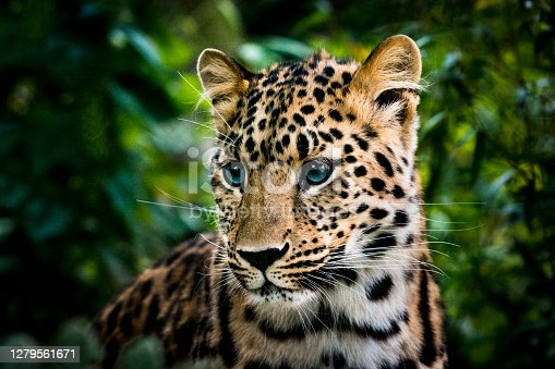 Portrait of a leopard cub in dense bush. It has clear blue eyes tipical for young leopards. Cubs at this age the female leopards left alone near the den when they go hunting.