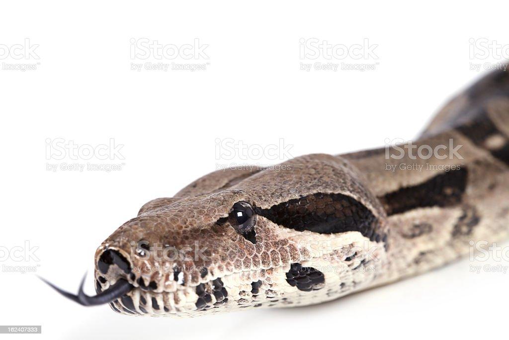 Portrait of Boa snake closeup stock photo