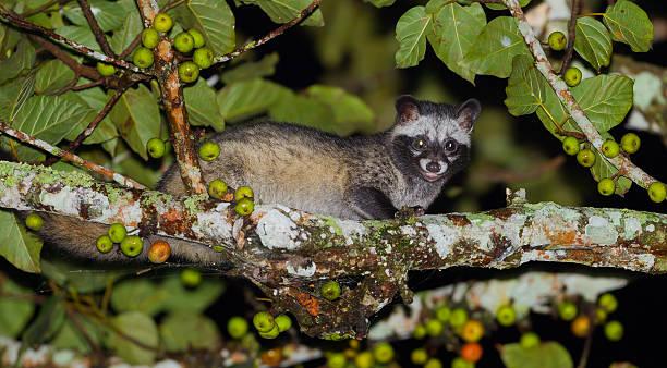 retrato de bocturnal animales asiática palm c - gato civeta fotografías e imágenes de stock