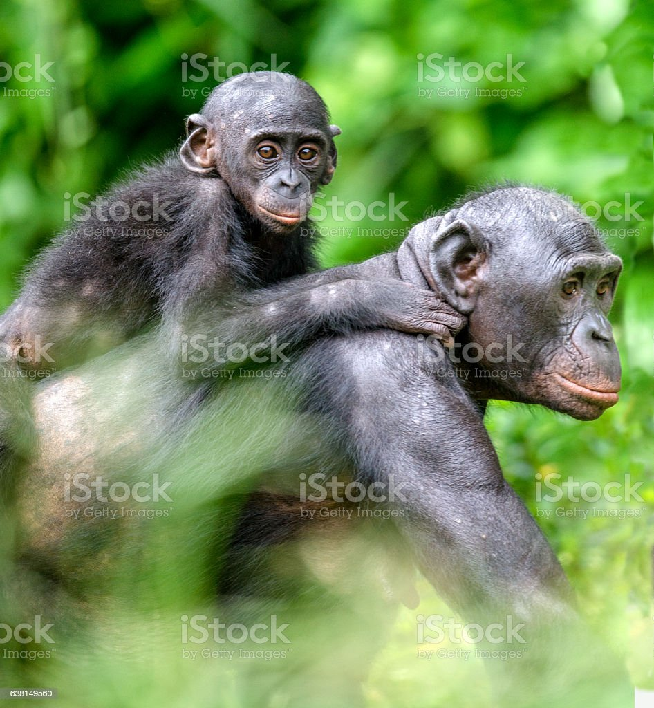 Portrait of Bonobo Cub on the mother's back - Photo