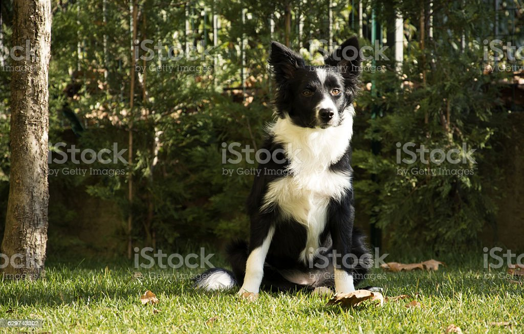 portrait of border collie in the garden – Foto
